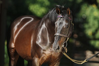 "Monsun-Sohn Fiorente mit tollem Start als Deckhengst ""down under"""